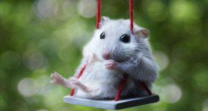Hamster nedir? Nelerle beslenir?